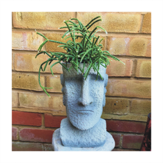 Easter Island Head Planter With Rhipsalis Pilocarpa