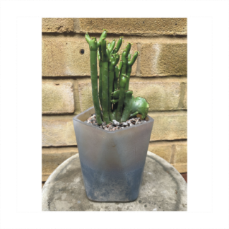 Frosted Glass Planter With Rare Succulent