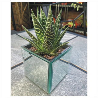 Small Square Mirror Aloe Planter