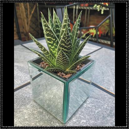 Small Square Mirror Aloe Planter